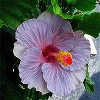 シードパケット:種子:新鮮な種子は新鮮な種を成長させるための迅速簡単な花多色の発芽