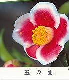 椿 苗木 ツバキ 玉の浦椿 13.5cmポット苗 つばき