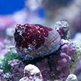 (海水魚 貝 無脊椎)シッタカ貝(バテイラ) Sサイズ コケの掃除(2匹) 本州・四国限定[生体]
