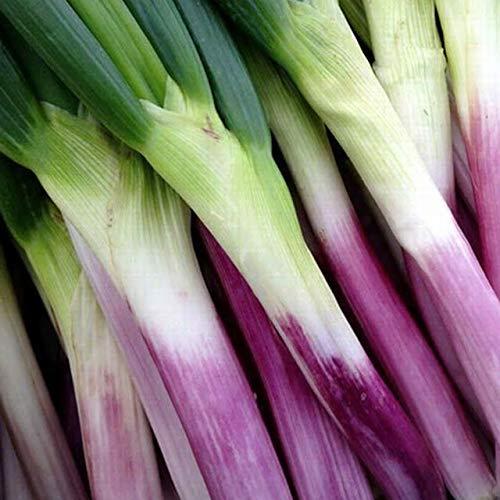 平田 赤ネギセット 送料無料 山形県庄内産 新鮮 地物野菜 赤ねぎ 葱 在来作物