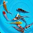 【生体】錦鯉 ヒレナガニシキゴイMix (S)10匹 約10cm~13cm前後 新潟県産