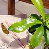 (食虫植物)ウツボカズラ ネペンテス アラタ 3.5号(1鉢) 本州・四国限定[生体]