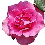 バラ苗 ザマッカートニーローズ 国産新苗4号ポリ鉢 ハイブリッドティー(HT) 四季咲き大輪 ピンク系