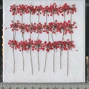 押し花パック【レースフラワー】茎付き赤、24輪入り
