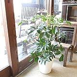 シェフレラ ホンコンカポック 7号鉢サイズ 白色 セラアート鉢 ホワイト 鉢植え 香港カポック 薫る花 観葉植物 おしゃれ インテリアグリーン アジアンテイスト 大型 中型