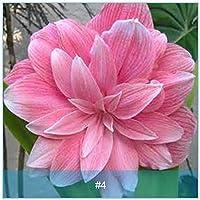 種:2:アマリリス、バルバドスユリ根、アマリリスの球根、ピンクAmarylliss#4