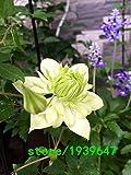 クレマチスの種クレマチスモンタナつる花植物種子バインズは、植物トワイニング工場攀縁性の300PCSクライミング