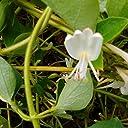 スイカズラ茶 自然栽培 無農薬 無施肥 国産 40g