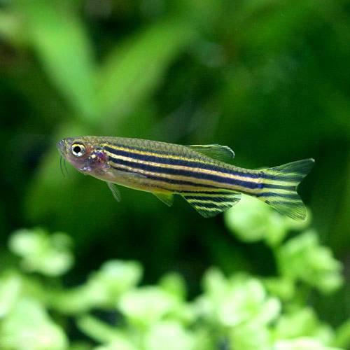 (熱帯魚) ゼブラ・ダニオ(30匹) 本州・四国限定[生体]