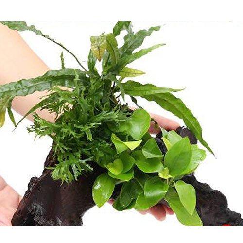 (水草) アヌビアスナナ ゴールデン&ミクロソリウム2種付流木 Lサイズ(1本) 本州・四国限定[生体]