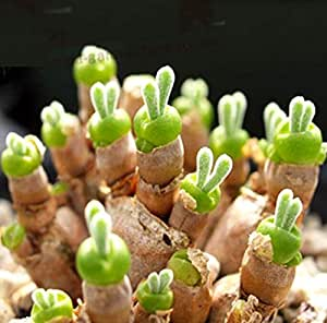 うさぎの耳栽培セット モニラリア(種10粒) 育てるのに必要なものがそろってます。多肉植物☆LabiCatsオリジナル☆
