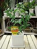 ミラクルニームの木♪インテリア陶器鉢植え♪プラスチック鉢では味わえない清潔オシャレ仕上げ 害虫対策・防虫効果・虫よけ・節電対策 約200種類以上の害虫に効果があると言われる 天然植物農薬 ニーム ニームの木 エディブルフラワー(食用花)にも活用されています