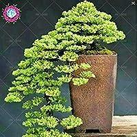 の20枚のユニークなergii種子松盆栽種子種子は、種子をバルコニー席日本の松の種子種子鉢植え