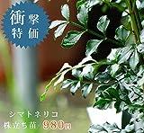 【衝撃特価】シマトネリコ 株立ち ポット苗 シンボルツリー 庭木 常緑樹