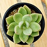 多肉植物 観葉植物 エケベリア アボカドクリーム 苗 インテリアプランツ