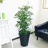シルクジャスミン ゲッキツ 8号鉢 スタイリッシュな黒色鉢カバー付 観葉植物 中型 大型 インテリア
