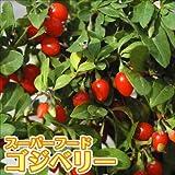 国華園 有用植物 クコ 千成 2株【※発送が国華園からの場合のみ正規品です】