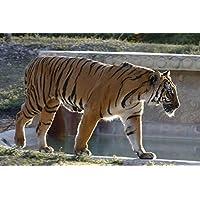 ベンガルタイガー動物 - #91 - キャンバス印刷アートポスター 写真 部屋インテリア絵画 ポスター 90cmx60cm