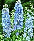 花の種子フォークラークスパーブルー・キング(デルフィニウムconsolida)年次