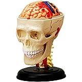 4D Vision Human Anatomy - Cranial Skull Model 人体模型 解剖 頭蓋骨 脳 141[並行輸入]