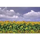 【夏のポストカード】向日葵ヒマワリ ひまわり風景photo by一文字 昭-えはがき絵葉書