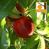 モモ(桃):早生ワッサー4.5号ポット[桃とネクタリンの交配種][果樹苗木] ノーブランド品