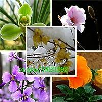 2月の蘭の種、Orychophragmus violaceus、紫色のorychopillaryusの花の種 - 100種子の粒子:多色