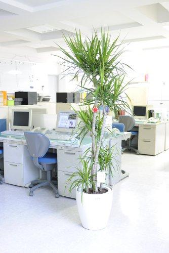 観葉植物 ドラセナ・コンシンネ 10号※白丸鉢カバー付
