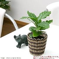 charm(チャーム) (観葉植物) コーヒーの木 3号(1ポット)