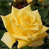 バラ苗 ゴールデンハート 国産新苗4号ポリ鉢 ハイブリッドティー(HT) 四季咲き大輪 黄色系