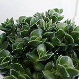 【ノーブランド品】多肉植物:クラッスラ:デービット3号ポット 3株セット