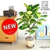 LAND PLANTS 自然樹形 アルテシーマ バリエガータ 茶色エッグポット