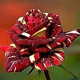 30PCS流星シャワーローズシードAbracadabraの種子花の盆栽DIYホームガーデンDec