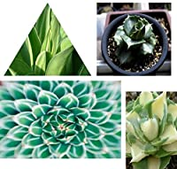 ビッグセール 100本のアガベの種子多肉植物の盆栽の種子DIYホームガーデン:マルチカラー
