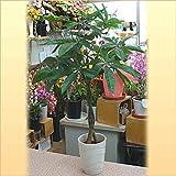 Amazon.co.jp人工観葉植物(造花) パキラ陶器鉢植え 高さ80サイズ 編み込みがお洒落なインテリアグリーン お祝い・インテリアに
