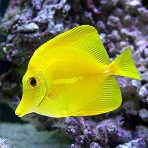 (海水魚)キイロハギ(1匹) 本州・四国限定[生体]