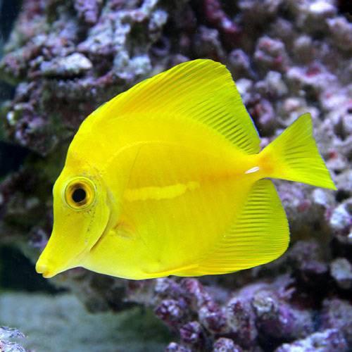 (海水魚) キイロハギ(1匹) 本州・四国限定[生体]