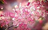 美しい桜の花の咲く、ピンクの花びら、春、ボケ味 キャンバスの 写真 ポスター 印刷 植物・花 (60cmx40cm)
