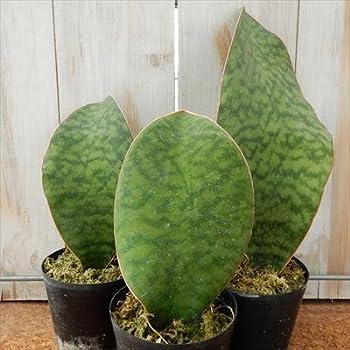 サンスベリア マッソニアーナ 希少種(サンセベリア・観葉植物)