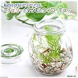 (エビ・貝 水草)私の小さなアクアリウム チェリーレッドシュリンプボトルセット ~マツモとウィローモス~(1セット) 本州・四国限定[生体]