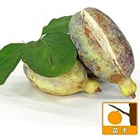 アケビ:三つ葉(ミツバ)アケビ4~5号ポット[甘味のある実 新芽・果皮もお料理に!][苗木] ノーブランド品