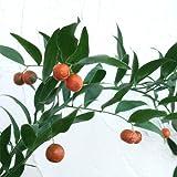 イタリアンルスカス(ナギイカダの仲間)5号ポット[オレンジ色の実がきれいな常緑低木] ノーブランド品