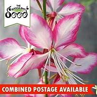 種子:ビーブロッサム - (35種)ガウラ属通年ブルマ干ばつTollerant
