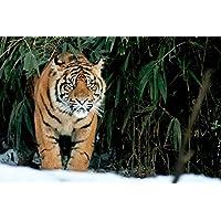 タイガー動物 - #33151 - キャンバス印刷アートポスター 写真 部屋インテリア絵画 ポスター 90cmx60cm