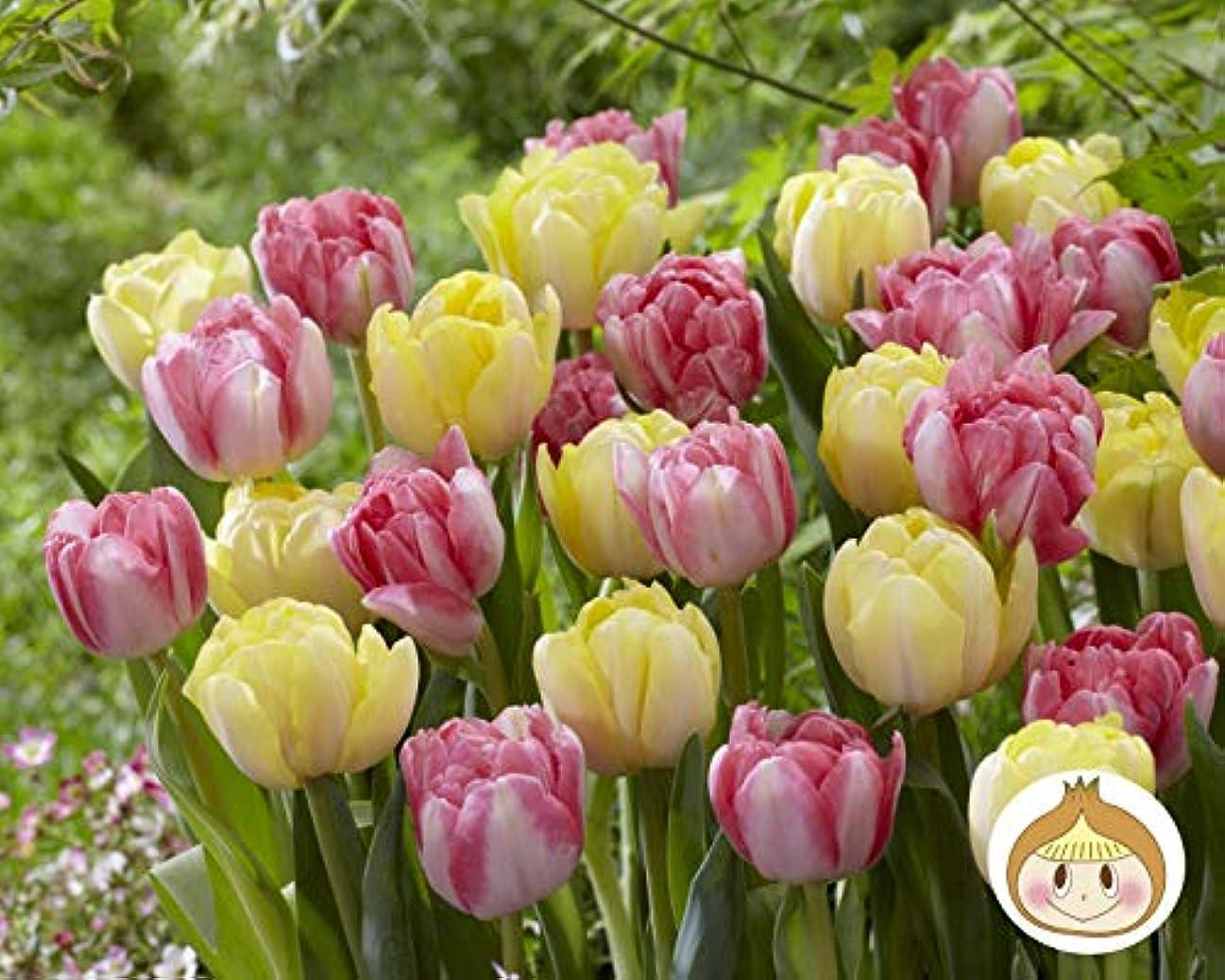 繊毛風邪をひく商業のはなみどり 秋植え! 簡単チューリップ 八重咲2種 花色混合20球 球根