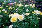 バラ苗 ゴールデンボーダー 木立バラ 【京成バラ】 トゲが少ない 耐寒性強 四季咲き 黄色 強健 バラ 苗 薔薇 木立