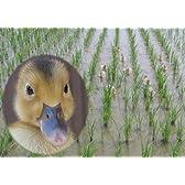 新潟県産 白米 特別栽培米 合鴨農法(無農薬) 内山農園 愛がも コシヒカリ 10キロ 平成28年度産