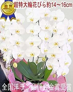 東京ミリオンフラワー ミルフルールchihiro 超特大輪胡蝶蘭 花びら約14~16センチ 30~33輪以上 白 3本立て