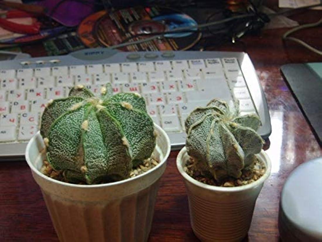 磨かれた複数じゃない種子パッケージ:アストロフィツム属クラディウム?ニビューム - ひ弱ヤギHorn- 25種