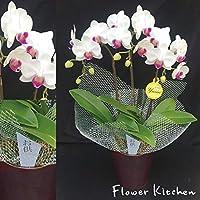 産地直送の花ギフト 椎名洋ラン園の ミディ胡蝶蘭 お供え用 5号 3本立ち
